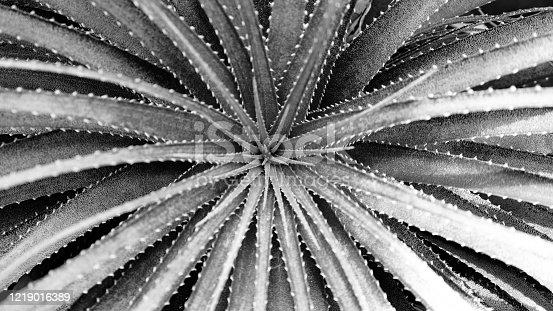 637513166 istock photo Cactaceae 1219016389