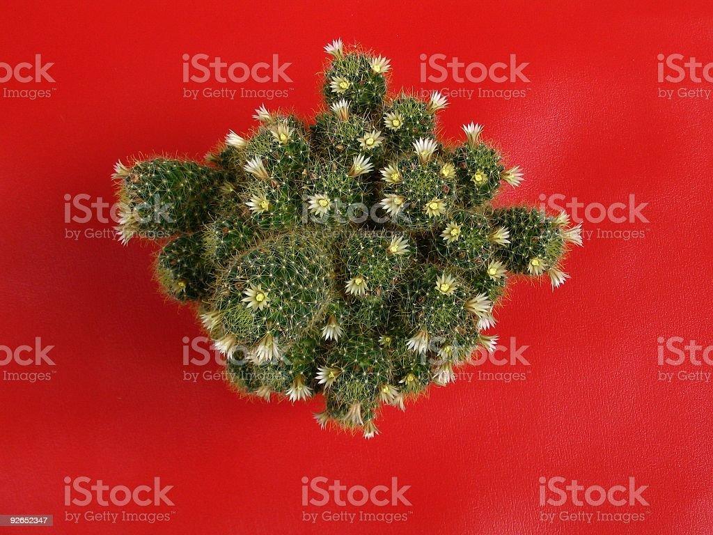 Cactaceous royalty-free stock photo