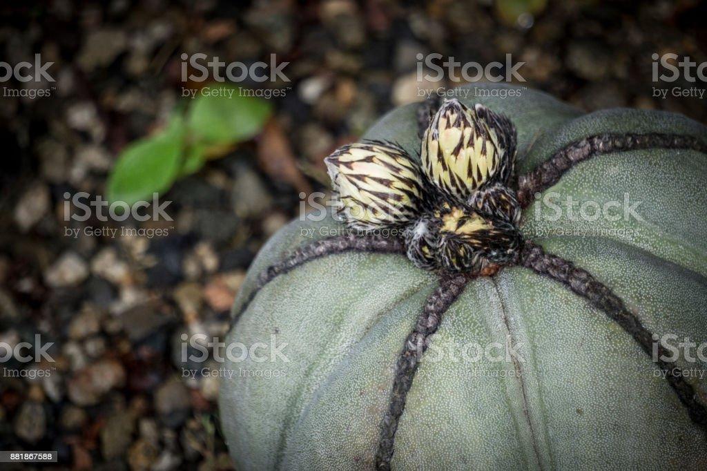 Cacti Bud stock photo