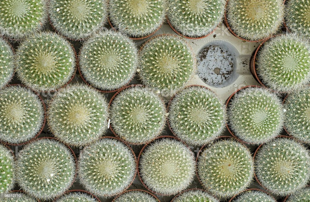 Cacti for sale royalty-free stock photo