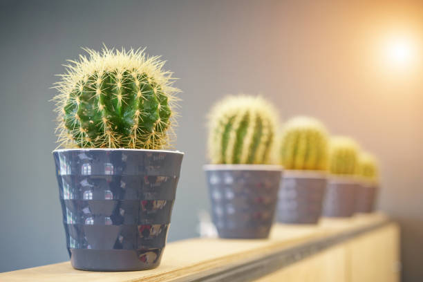 cacti grow in pots, stand in a row on the shelf stock photo