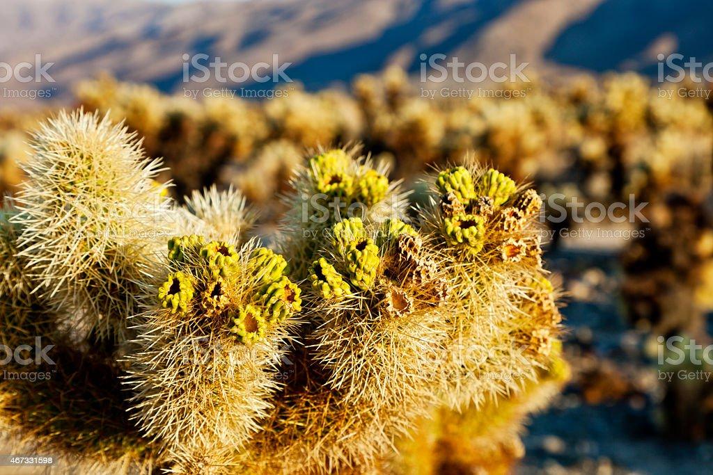 Cacti in Joshua Tree National Park stock photo