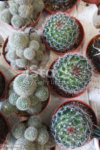cacti in pots, close-up view from above . ornamental plant.
