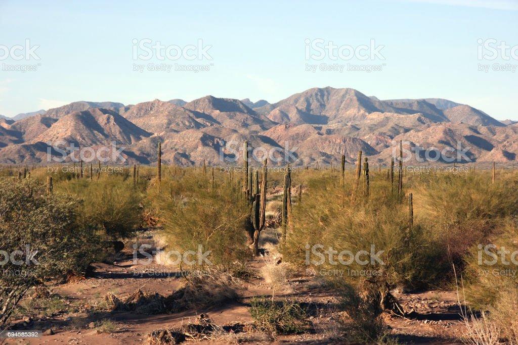Cacti in the remote Sonoran Desert, Baja California Sur, Mexico stock photo