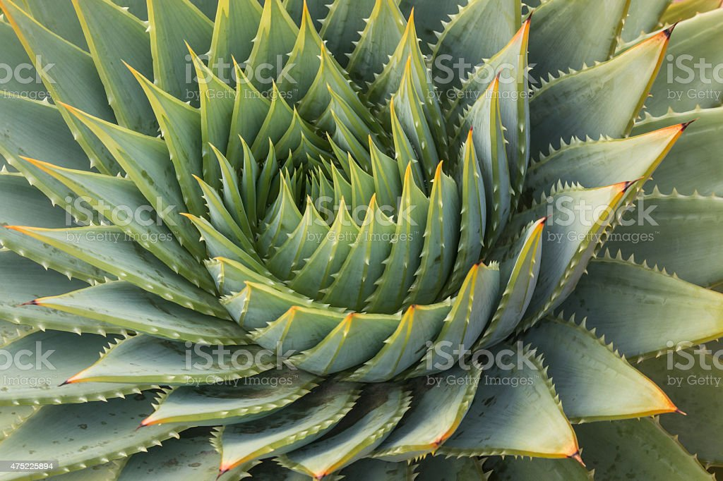 cacti leaves spiral stock photo