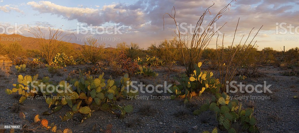Cacti of Saguaro National Park at Sunset royalty-free stock photo