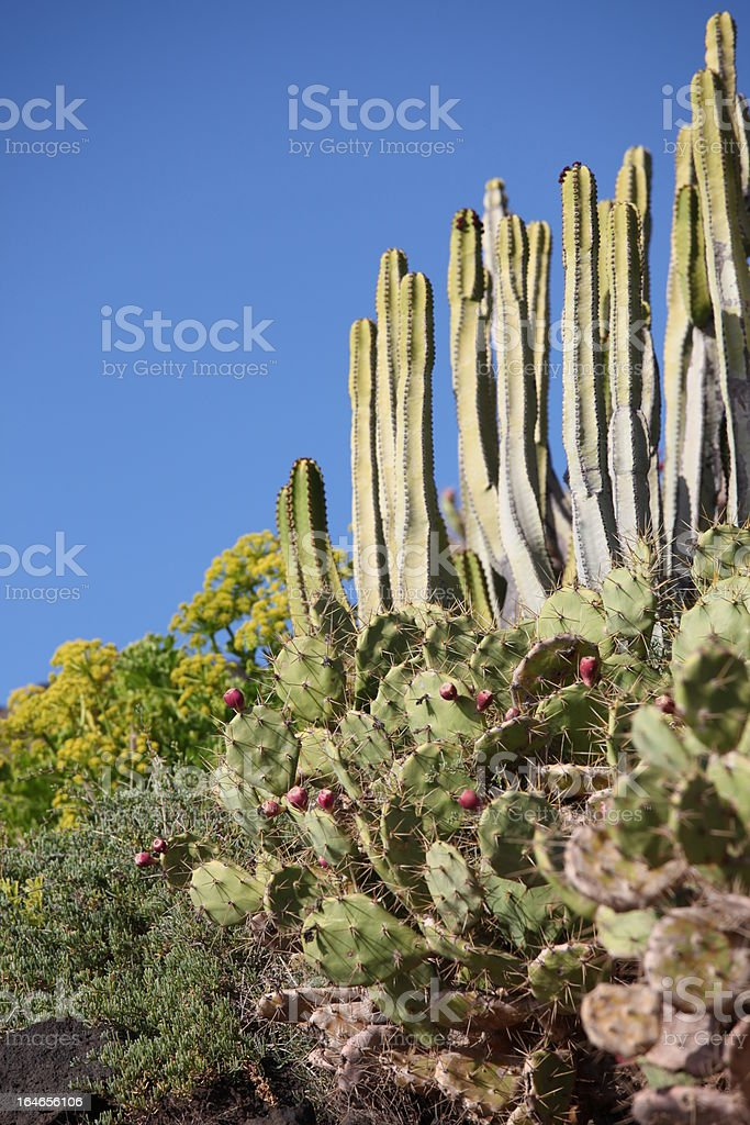 Cacti on La Gomera royalty-free stock photo