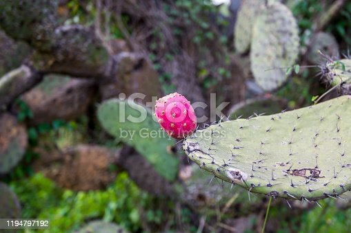 Cacti with ripe fruits at the ruins of the architecturally significant Mesoamerican pyramids and green grassland located at at Teotihuacan, an ancient Mesoamerican city located in a sub-valley of the Valley of Mexico