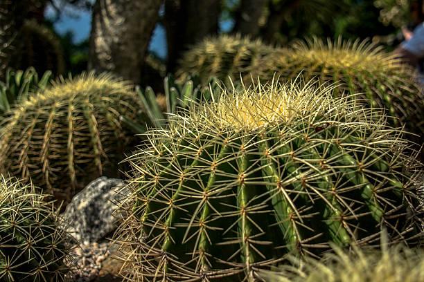 Cactus 1 - foto de acervo