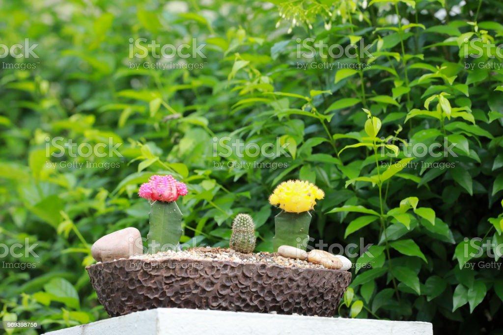 Kaktus Sukkulente Mit Dicken Fleischigen Stiel Der In Der Regel