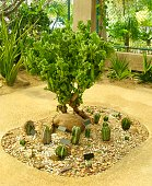 Beautiful Cactus, Agave and Succulent Plants Growing in The Greenhouse for House and Garden Decoration.