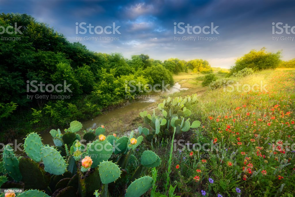 Cactus and Wildflowers at Sunrise stock photo