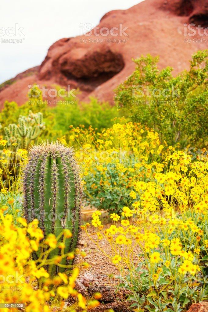 Cactus and Wildflowers in Arizona Desert stock photo