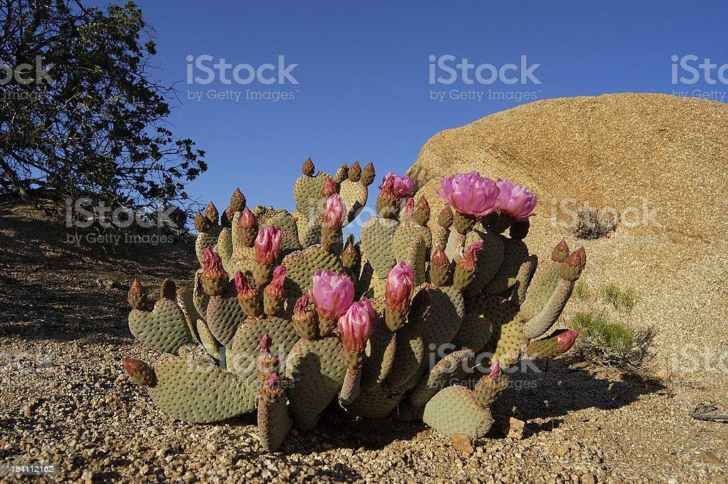 Cactus at Yoshua Tree National Park royalty-free stock photo