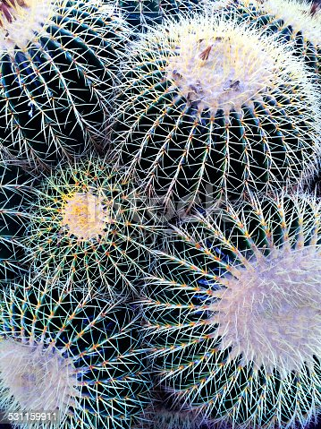 A detail view of several large Golden Barrel Cactus — Echinocactus Grusonii.