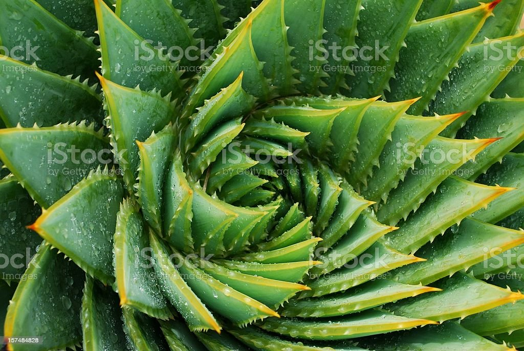 Cactus Aloe Polyphylla fundo () - Foto de stock de Abstrato royalty-free