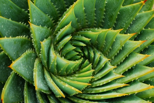 Detail of the centre of a green succulent plant. The genus of this succulent is Aloe Polyphylla.