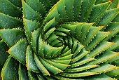 Cactus Background (Aloe Polyphylla)