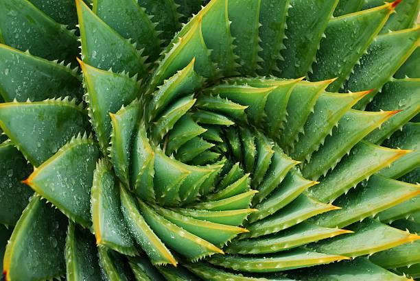 Cactus Background (Aloe Polyphylla) stock photo