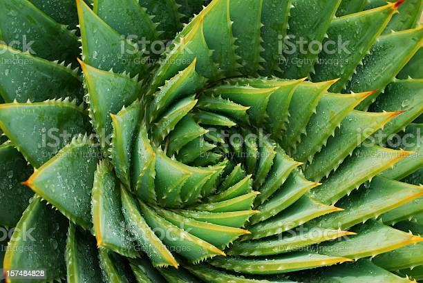 Foto de Cactus Aloe Polyphylla Fundo e mais fotos de stock de Abstrato