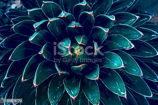 Dark green cactus background texture , upper view. Cropped frame.
