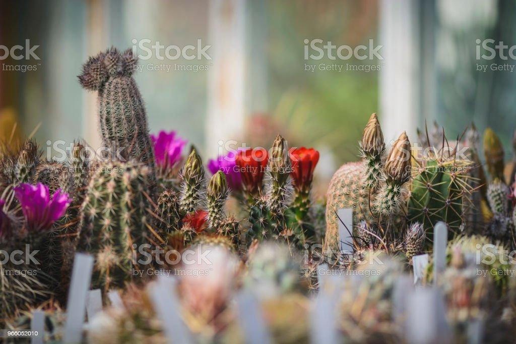 Kaktus-Hintergrund mit Platz für text.cactus Knospe und Blumen. - Lizenzfrei Arrangieren Stock-Foto