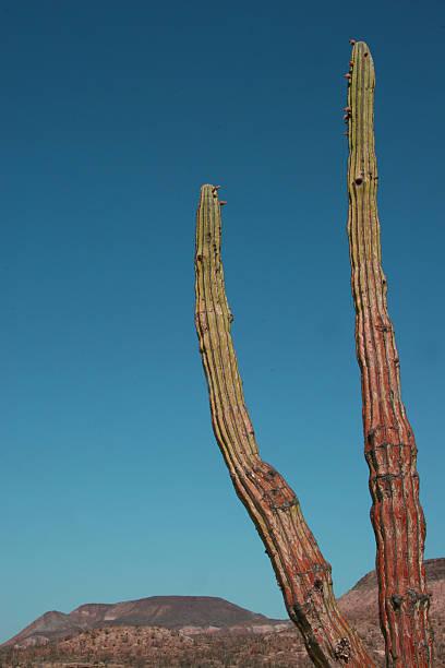 cactus, baja desert. stock photo