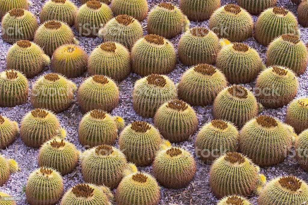 Cactus: Barrel Cacti stock photo