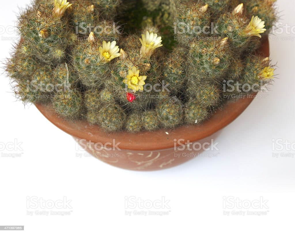 Cactus bloom stock photo