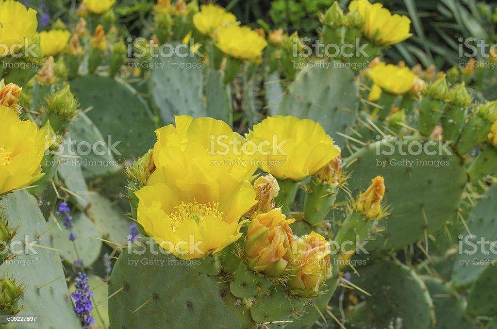 Cactus blooms Opuntia ficus-indica flower stock photo