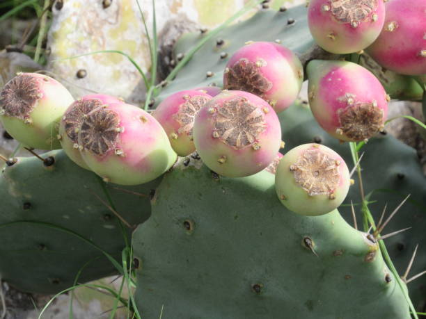 cactus buds - dianna dann narciso stock pictures, royalty-free photos & images