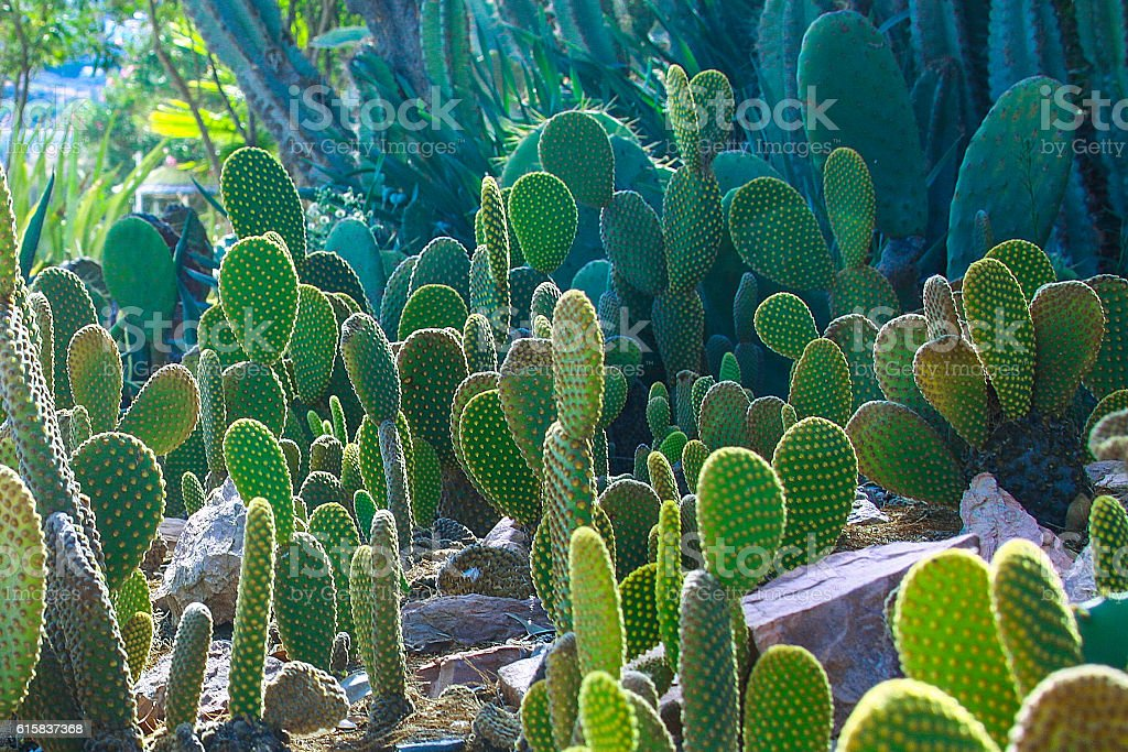 cactus, cactus garden stock photo
