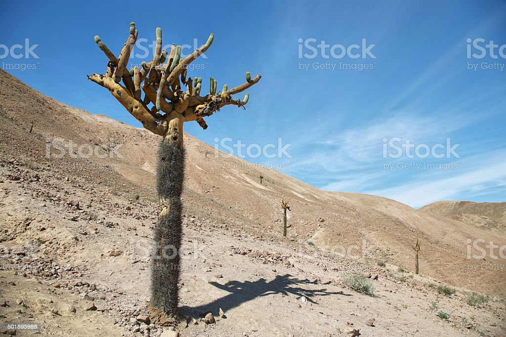 Cactus Candelabra (Browningia Candelaris) stock photo