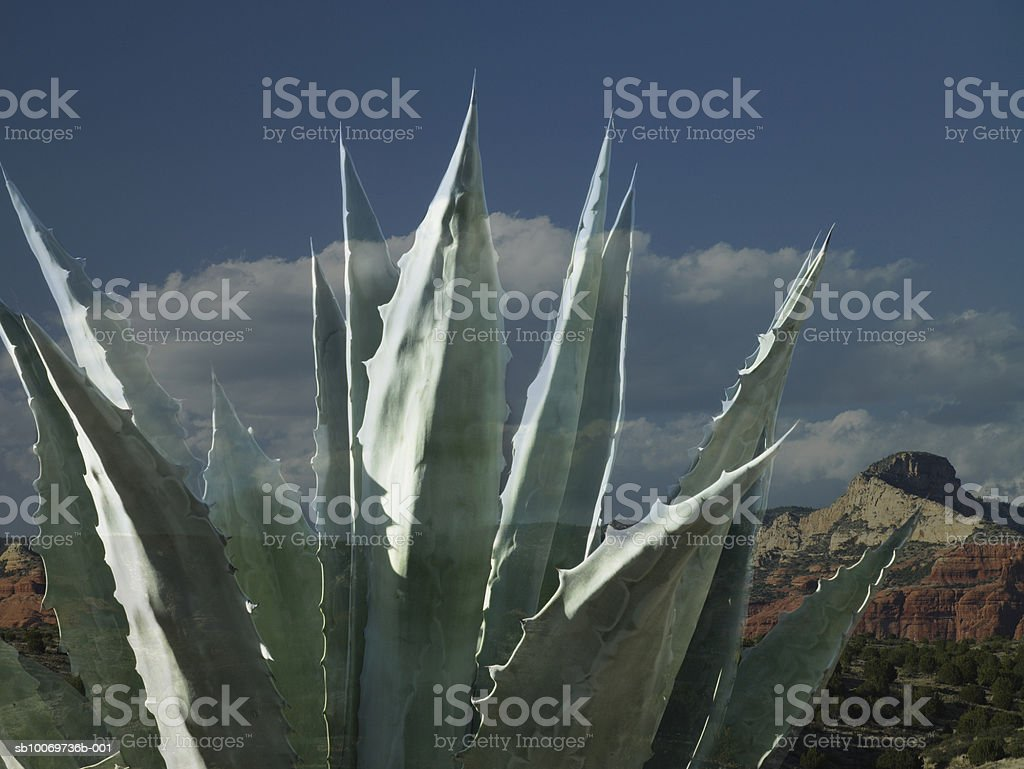 Cactus, close-up royalty-free stock photo