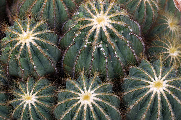Cactus-Kollektion  – Foto