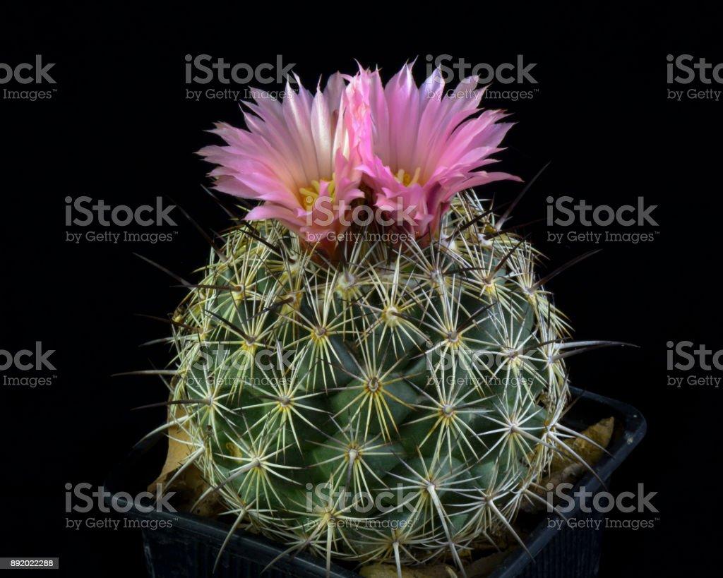 cactus Coryphantha Pseudoechinus stock photo