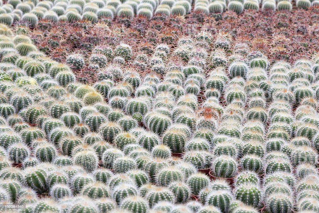 Cactus cultivation (the Netherlands) royalty-free stock photo