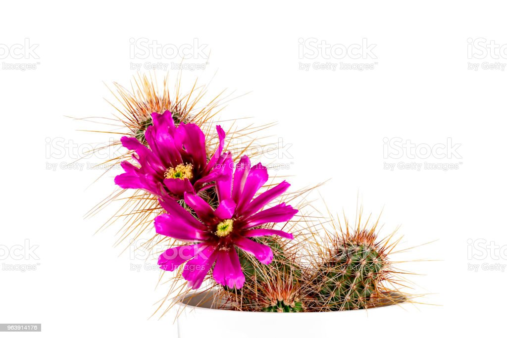 Cactus echinocereus apachensis with two blossoms in pink - Royalty-free Blossom Stock Photo
