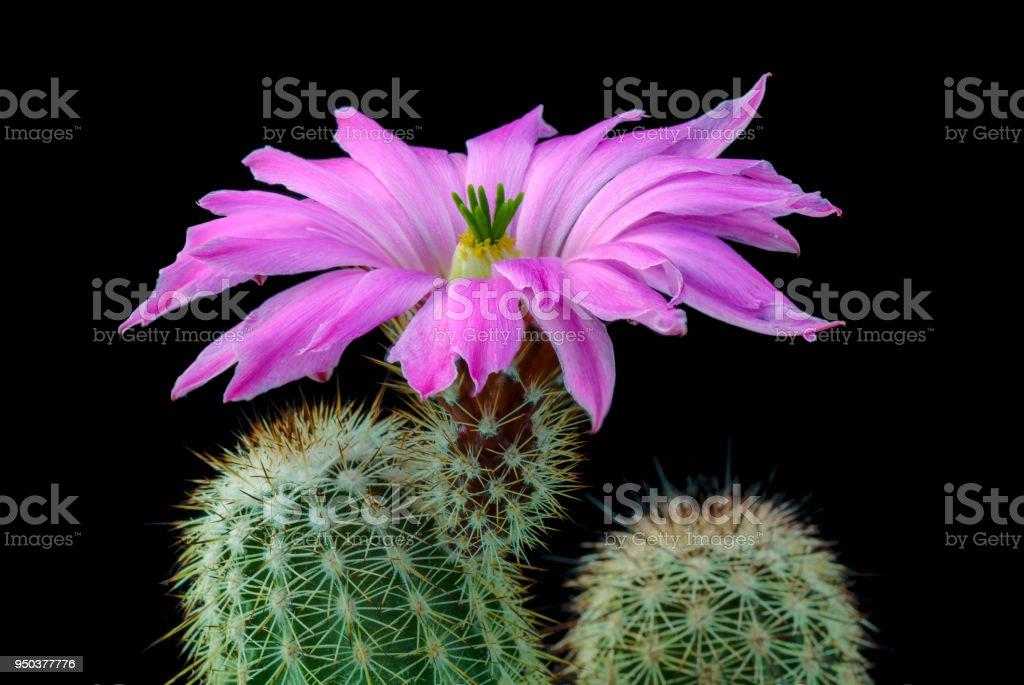 Cactus Echinocereus floresii with flower isolated on Black stock photo