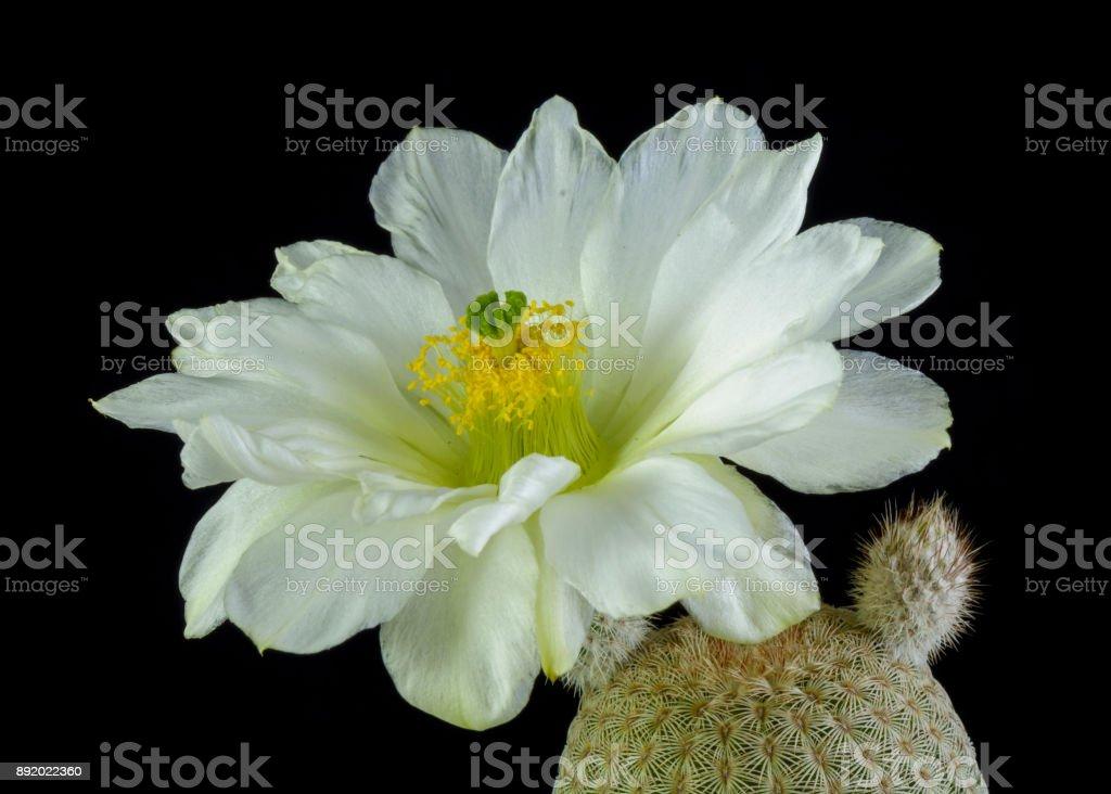 cactus Echinocereus regidissimus stock photo
