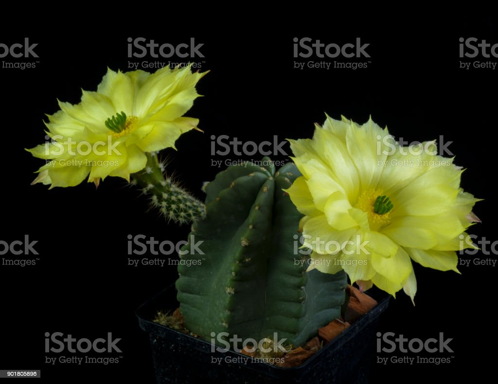 Cactus Echinocereus subinermis blooming stock photo