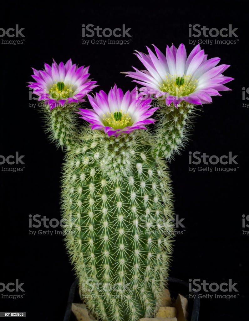 Cactus Echinocereus websterianus blooming stock photo