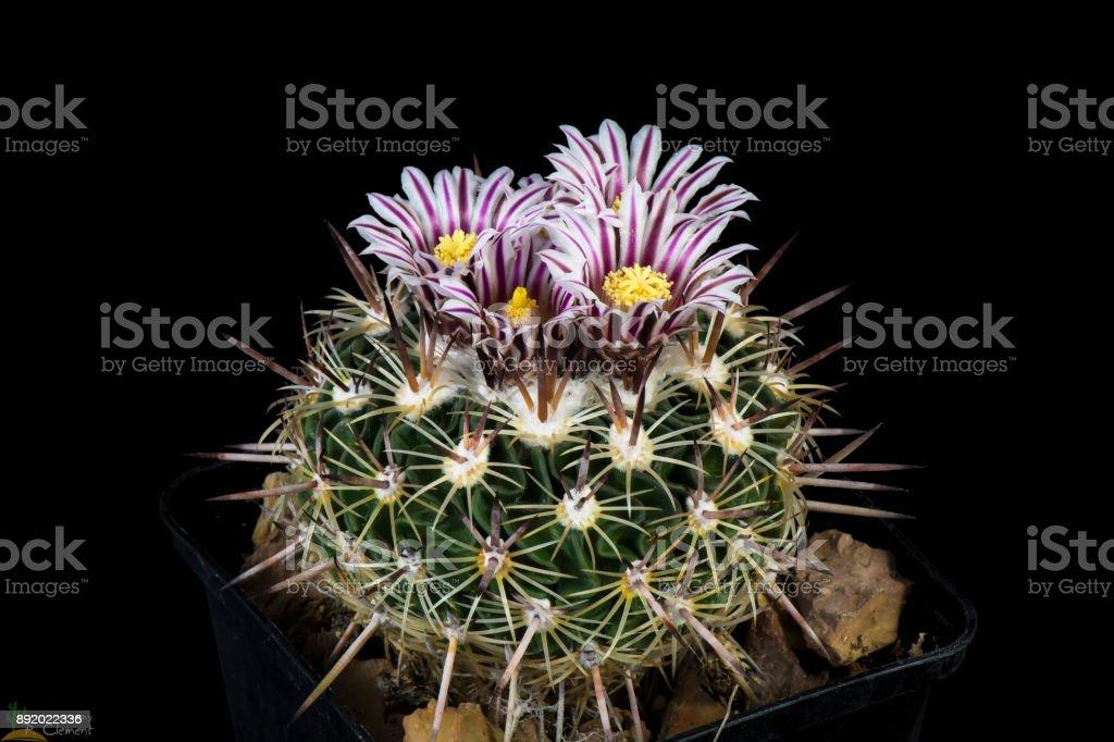 Cactus echinofossulocactus zacatecasensis stock photo