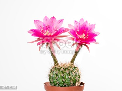Cactus Echinopsis Kermesina with opening two pink blossoms against white background, isolated