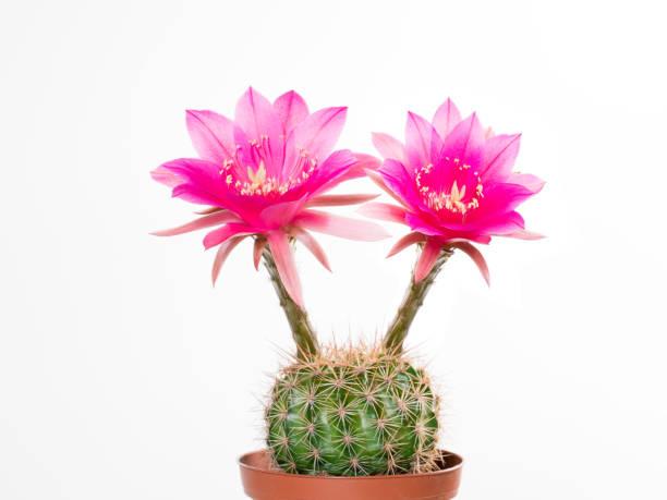 cactus echinopsis kermesina avec ouverture deux fleurs roses - en fleurs photos et images de collection