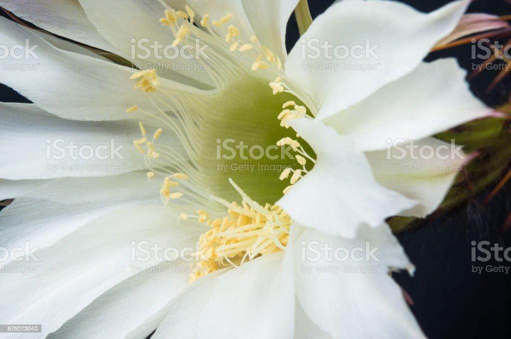 Cactus echinopsis tubiflora stock photo