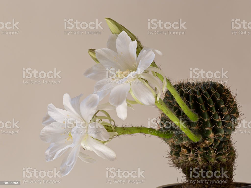 Cactus Echinopsis  with white blossoms, old fashion style stock photo