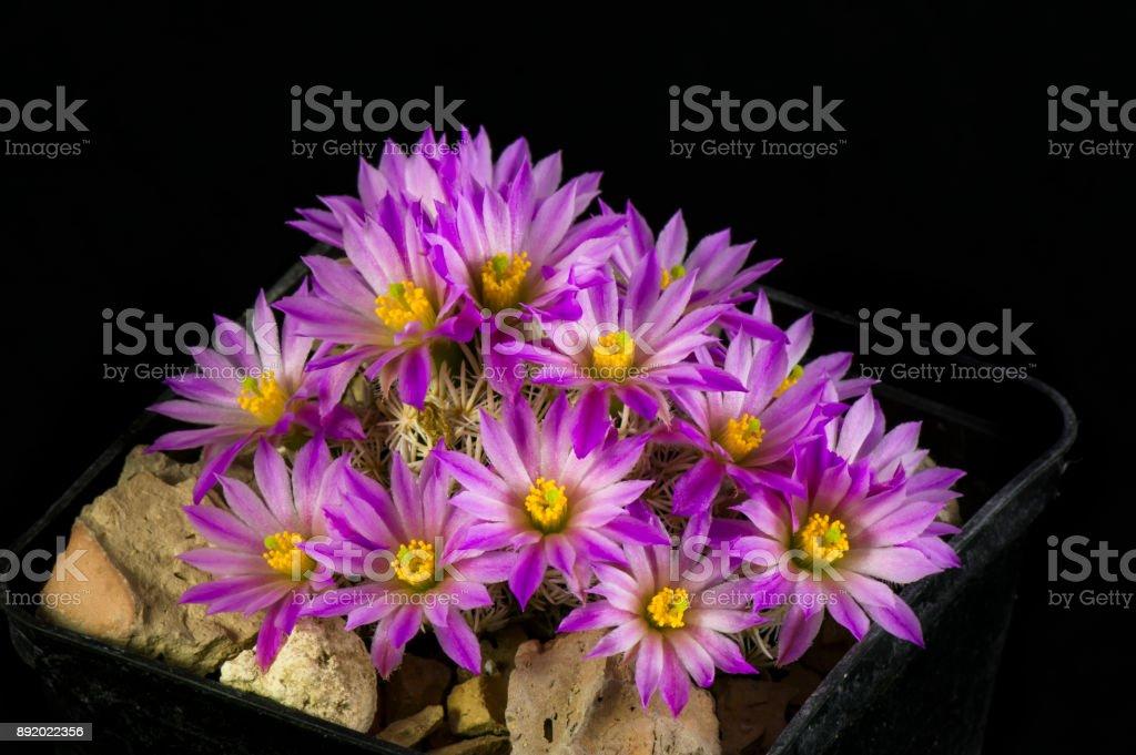 Cactus Escobaria minima stock photo