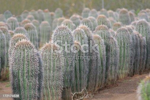 Young Saguaro Cactus at a cactus farm.