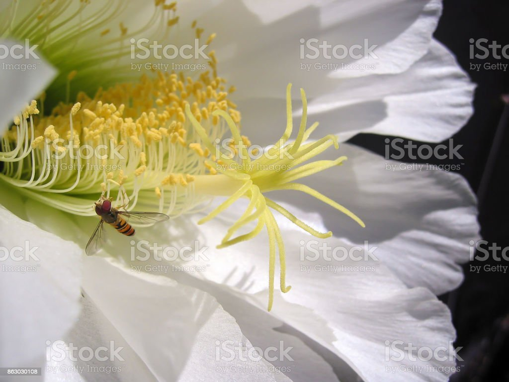 Cactus flower close up stock photo